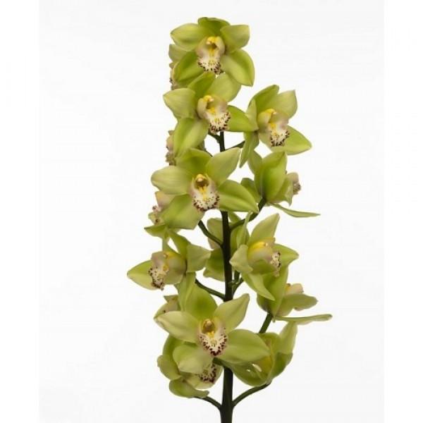 Ветка орхидеи Цимбидиум микс
