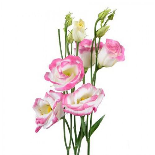 Эустома бело-розовая