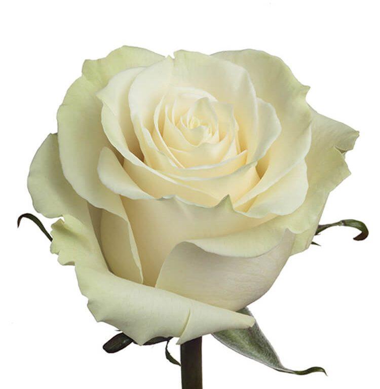 Роза белая, 70см