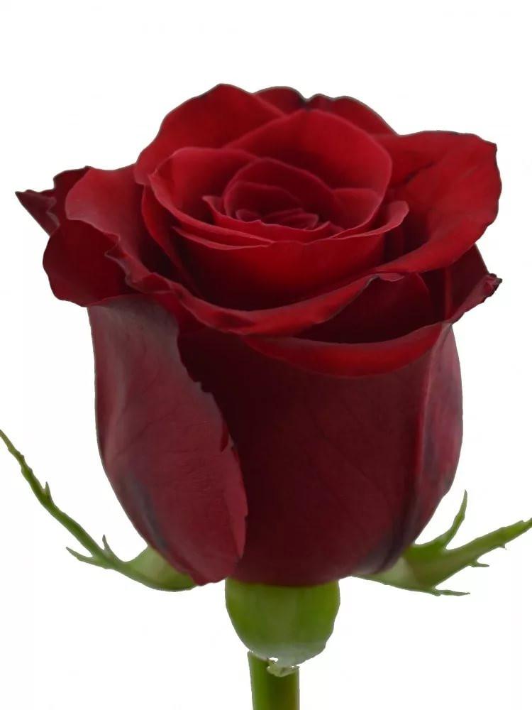 Роза красная, 70см