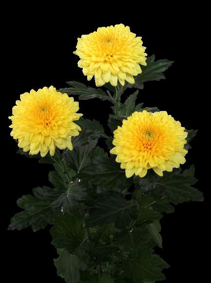 Хризантема 1головая